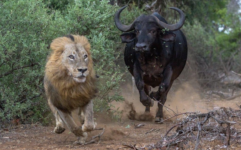 BUFFALO CHASING MALE LION